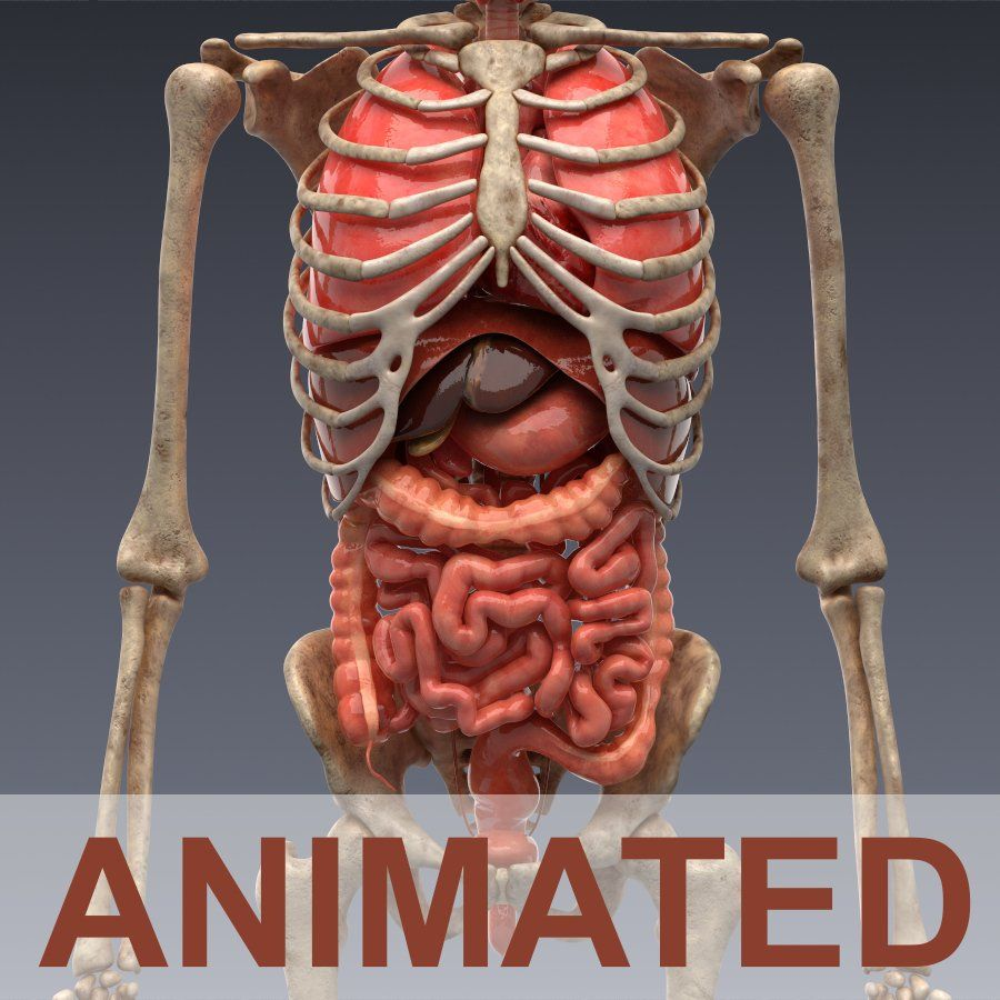 Human Anatomy Internal Organs Pictures Human Anatomy Drawing