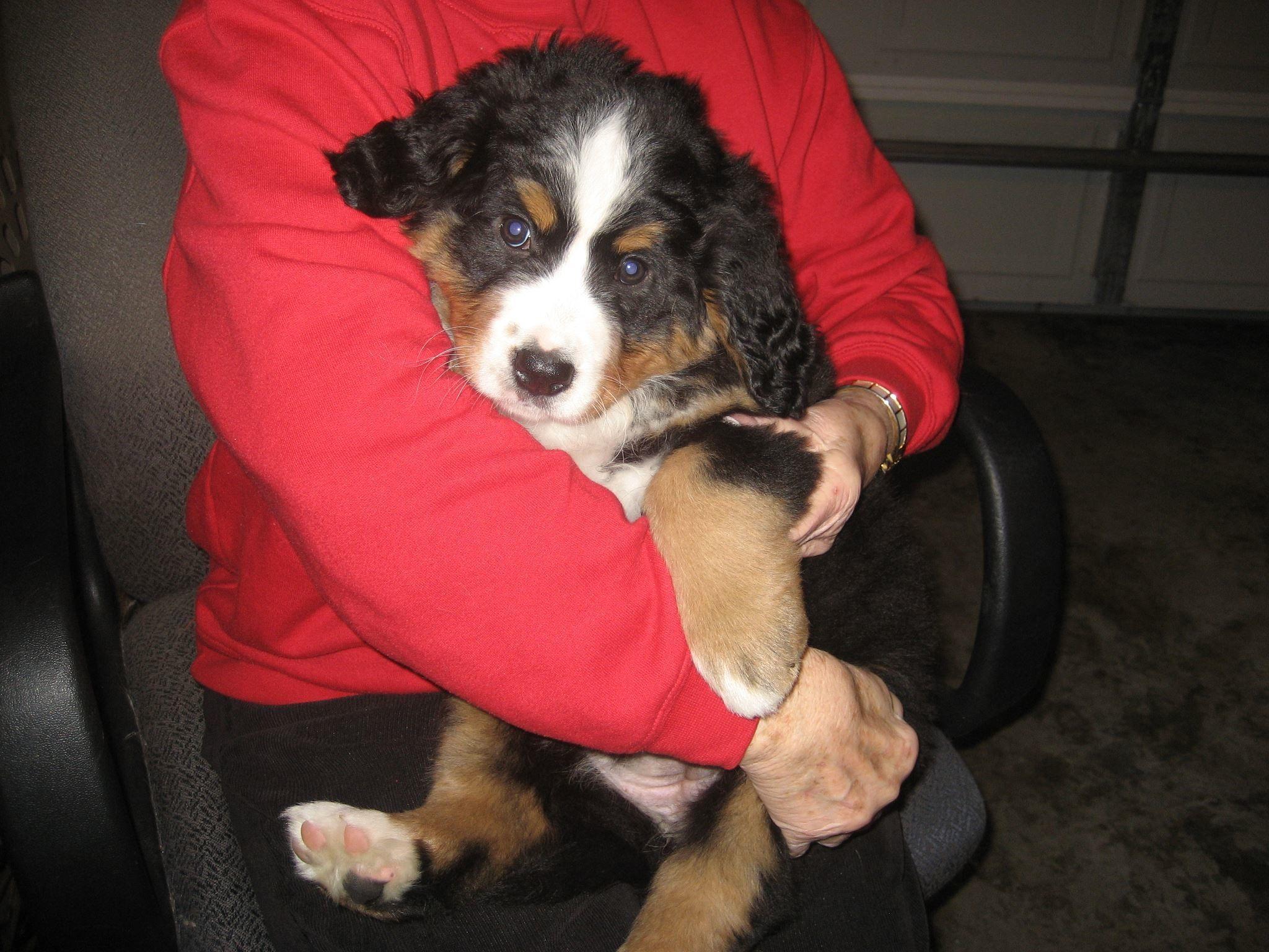 My Bernese mountain dog Mattie