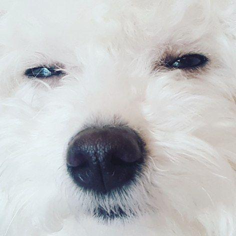 春になったせいか、超だるだるだる重っ . . . #비숑 #비숑프리제 #후쿠짱 #시로짱 #멍스타그램 #펫스타그램 #도그스타그램 #숑스타그램 #인스타독 #반려견  #ビションフリーゼ #シロちゃん #ふくちゃん #ペット#instadog  #bichon #bichonfrise #bichonstagram #dogstagram #dogsofinstagram #petsofinstagram #bichonsofinstagram #bichonfrise
