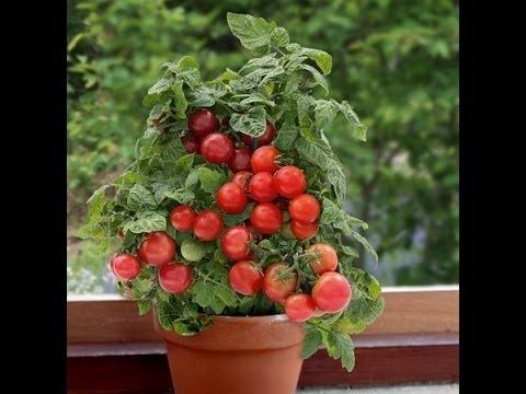 How To Grow Tomato Plant In Container How To Care Tomato Plant