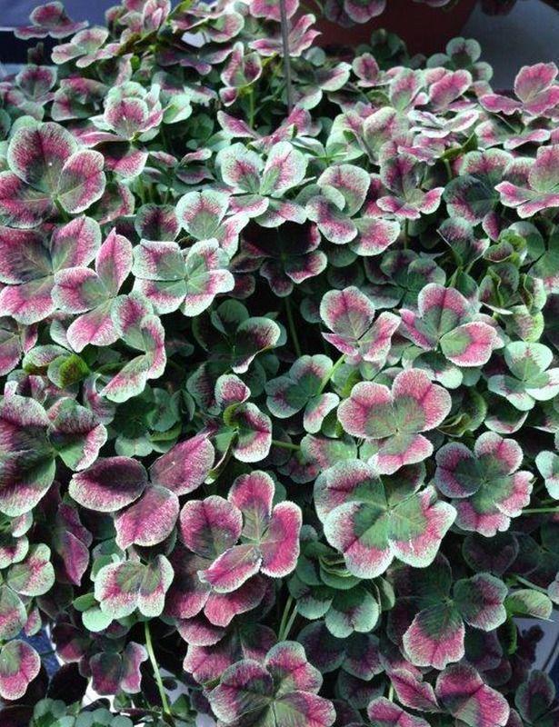 Perennial Ground Cover Full Sun: Clover, 4 Luck Red Green PERENNIAL GROUND COVER Trifolium