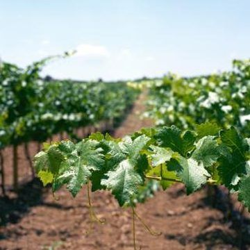 Grapevines usually grow best when fertilized a few times per year.