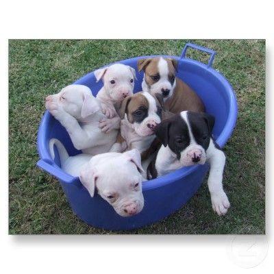 Pin By Hillary Perez On Animals American Bulldog Puppies