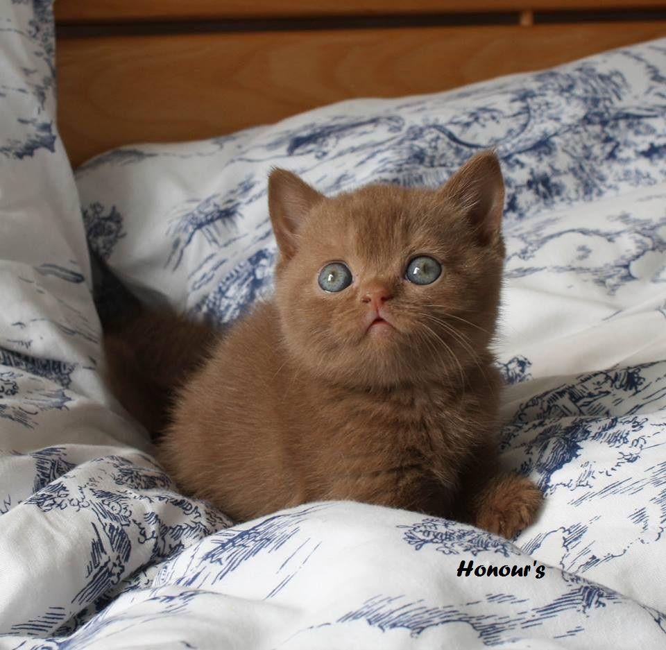 British Shorthair British Shorthair Cattery British Shorthair