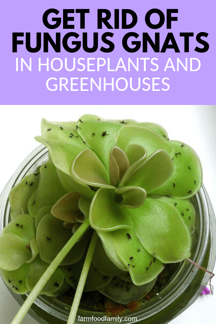 How To Get Rid Of Fungus Gnats In Houseplants And Greenhouses Gnats In House Plants Organic Plants Fungus Gnats Houseplant
