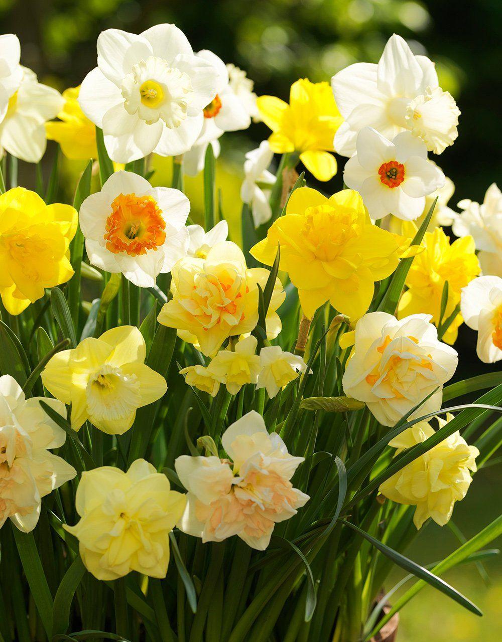 Mixed Daffodils 30 Bulbs In 2020 Daffodil Bulbs Bulb Flowers Daffodils