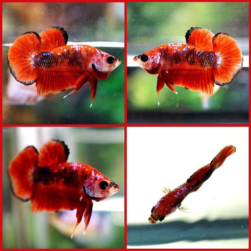Live Betta Fish Male Fancy Red Koi Galaxy Juvenile Halfmoon Plakat ...