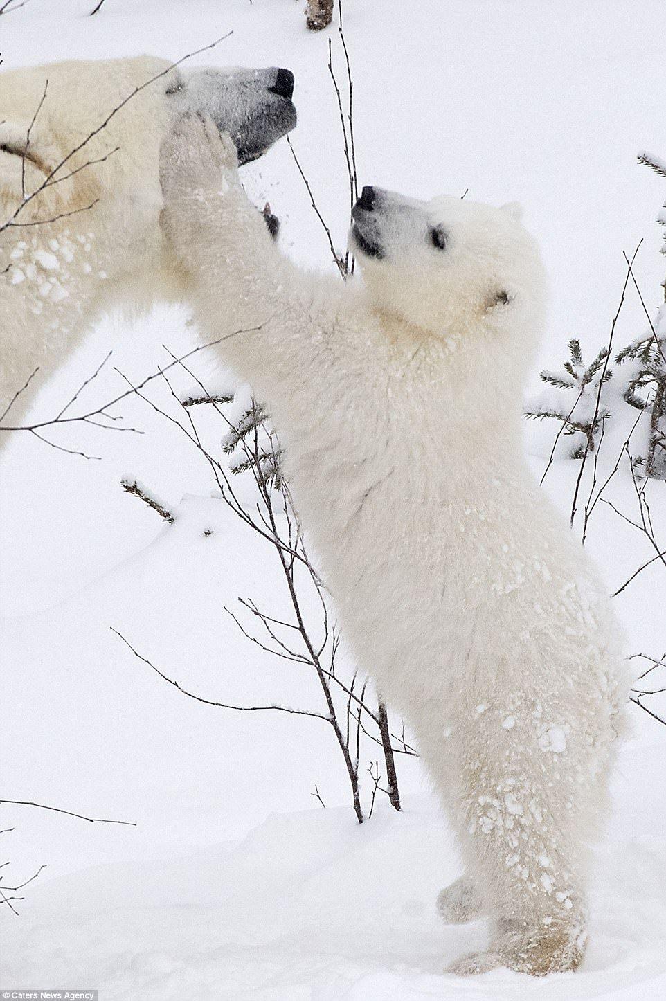 Bear stroking