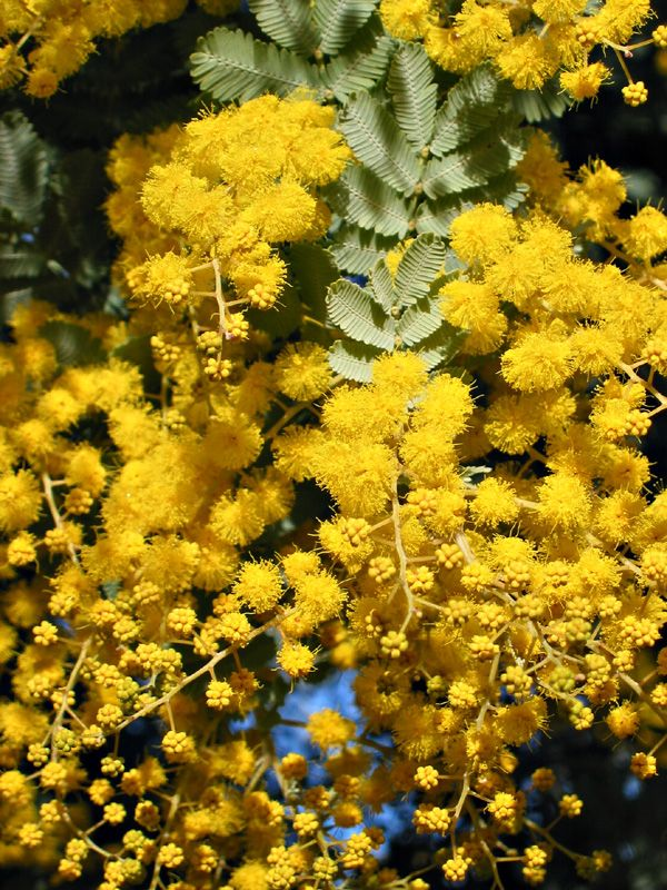 Acacia Mimosa Has Yellow Petalless Flowers And Is Available In May Acacia Baileyana Australian Native Plants Plants