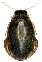 Dytiscidae Australische Region Australische Insekten Tiere