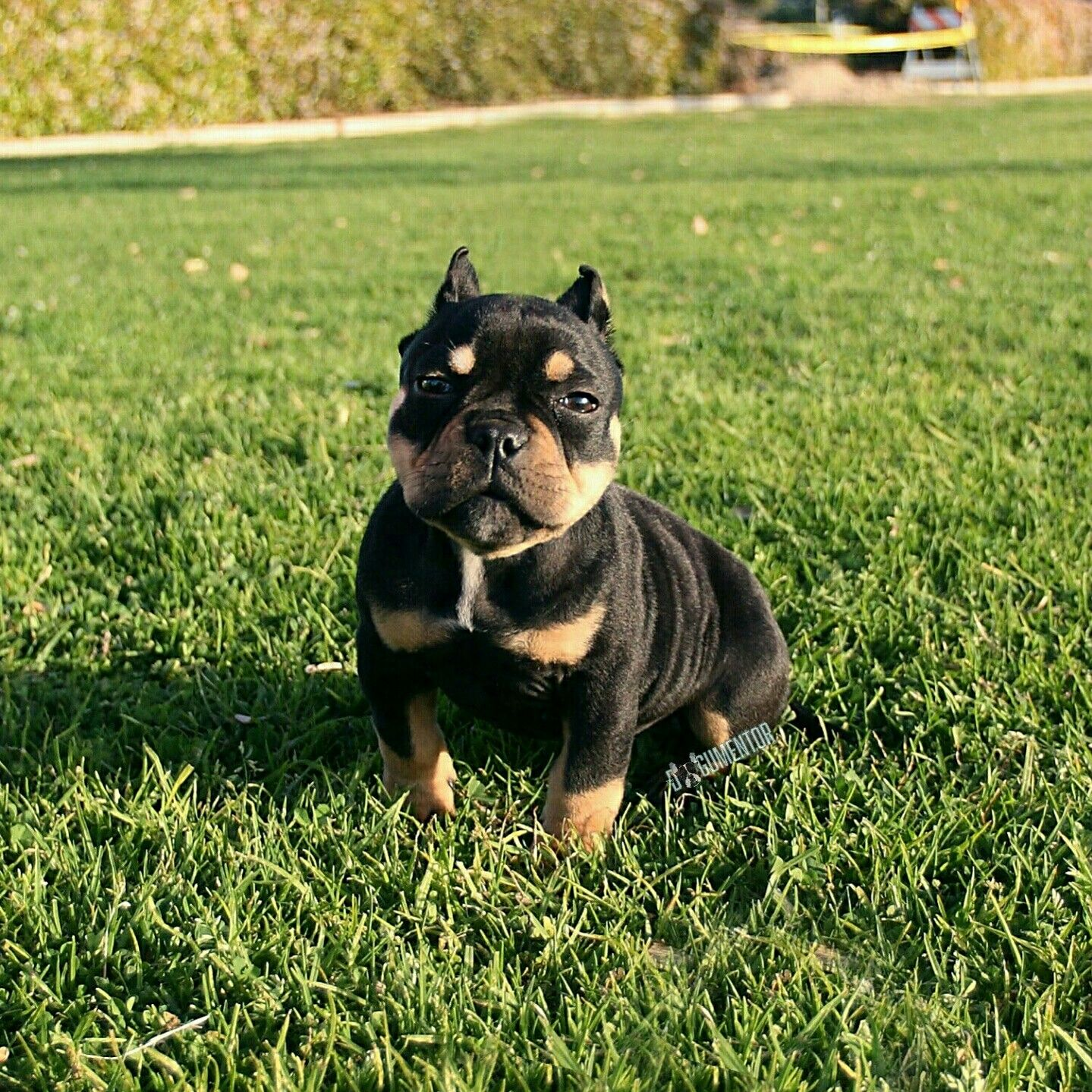 """Mexi, Micro American Bully (4 m/o), Chula Vista Marina ▪ """"Her bloodline travels from all over the world, from Australia to Mexico."""""""