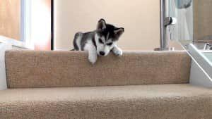 Warum Einige Hunde Angst Vor Treppen Und Moglichkeiten Haben Ihnen