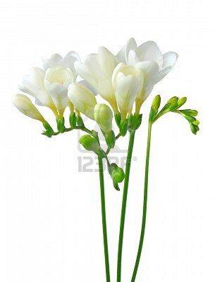 More white freesias tsttoo pinterest flowers more white freesias mightylinksfo