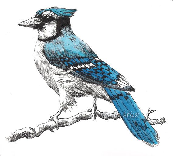 Small Pen And Ink Blue Jay Drawing Art Print 5x5 By