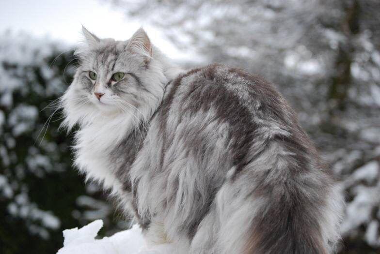 Norvegian Cat Petit Chat Mignon Beaux Chats Chat Mignon