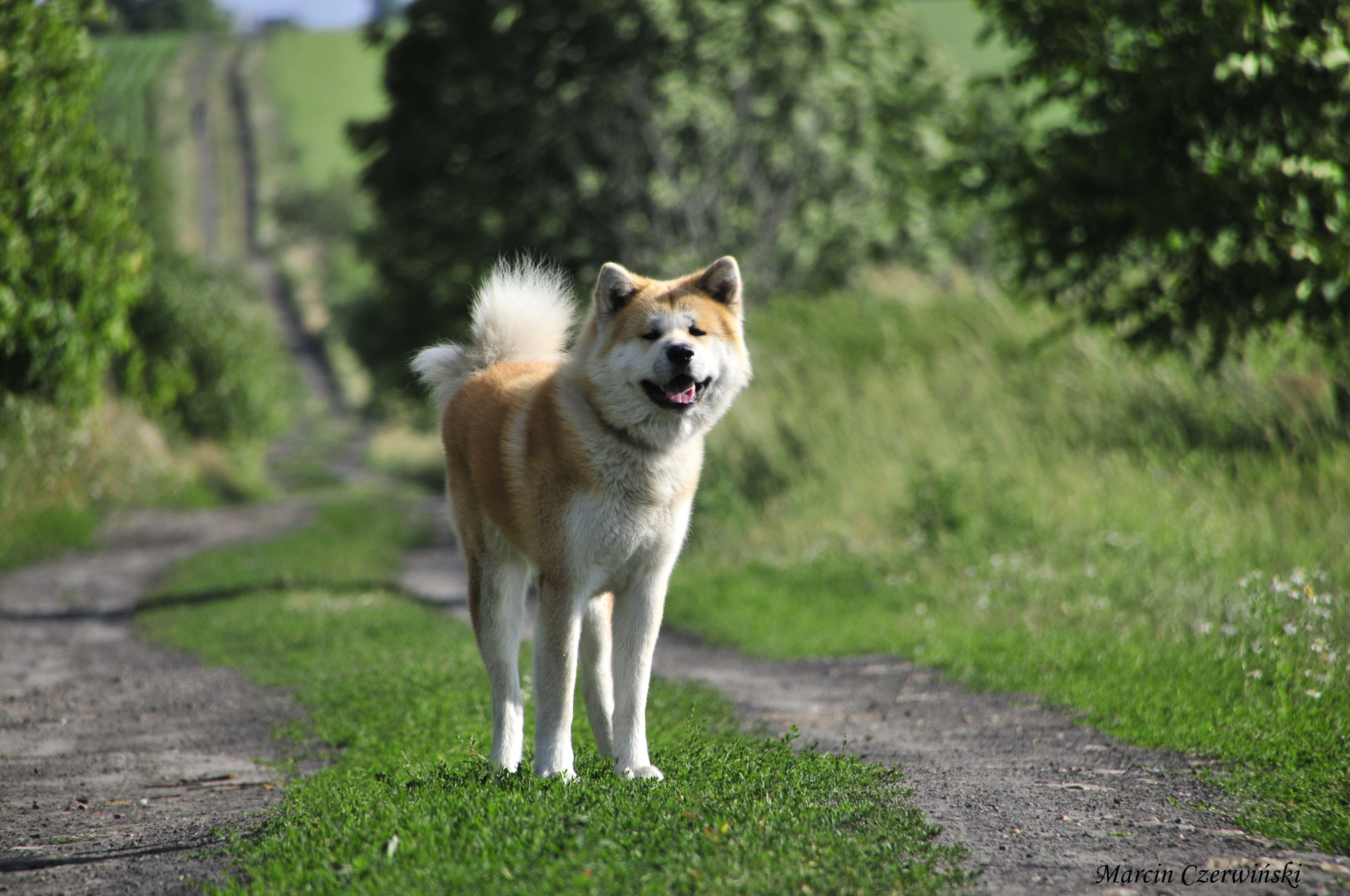 Akitas おしゃれまとめの人気アイデア Pinterest Stuart Roth 2020 柴犬 秋田犬 動物
