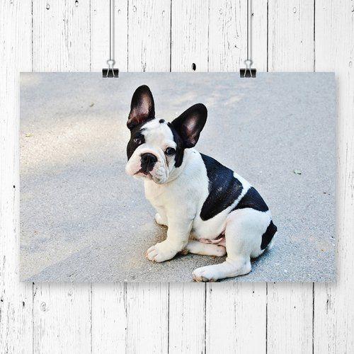 Big Box Art French Bulldog Dog Photographic Print French