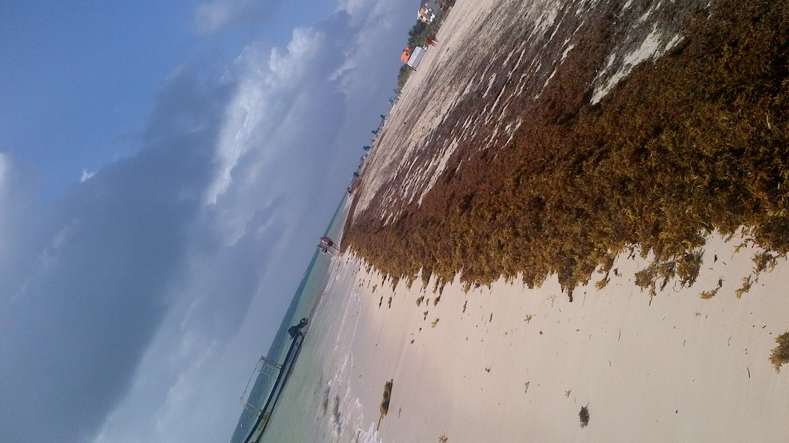 Sargasso grass - drifted in at beach Puerto Morelos Riviera May  (Sargassum)