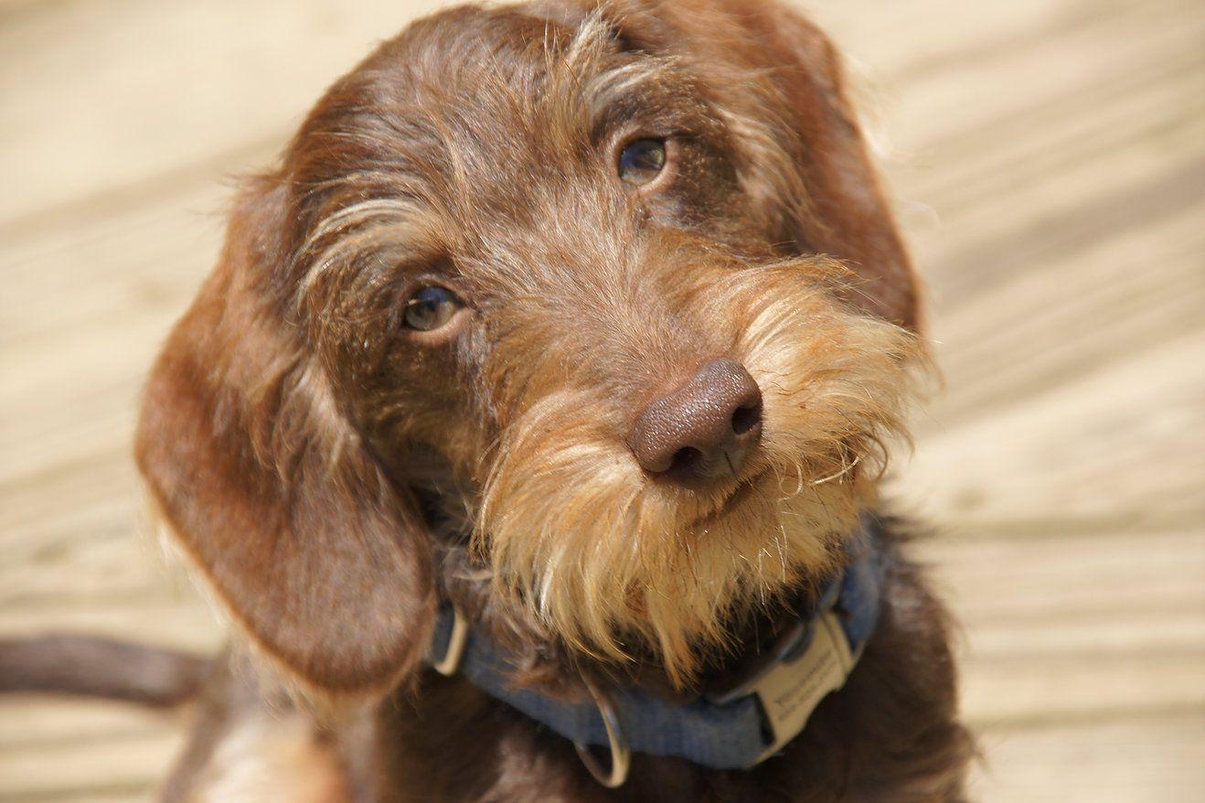 Yosemite Sam Wire Haired Dachshund Dachshund Dog