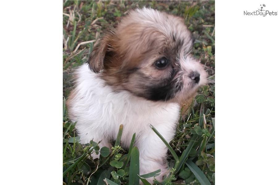 Miki puppy for sale near West Palm Beach, Florida