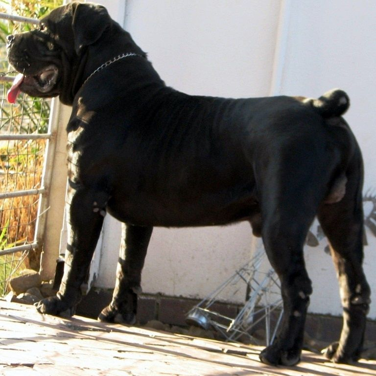 Spitsvuur Ramkat Huge Dogs Dog Breeds Dogs