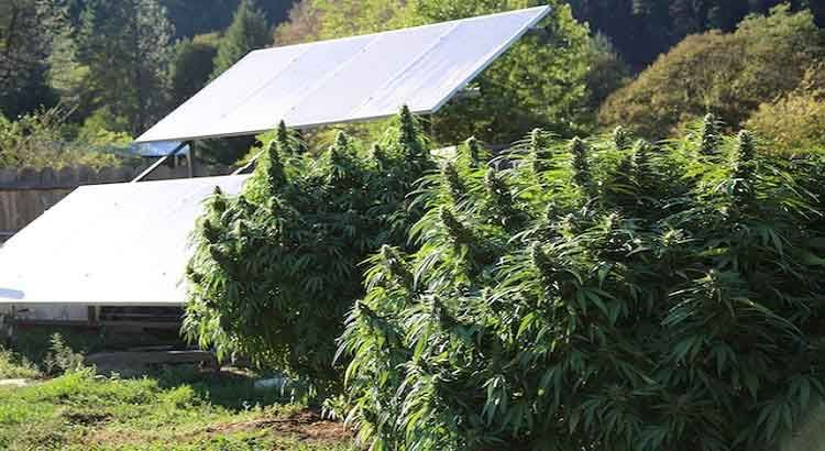 Marijuana Is California's Number One Ag Product, And It's Not Even Close