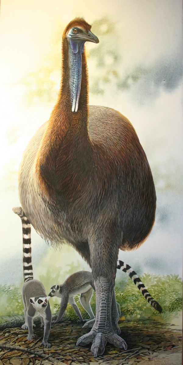 Name: Elephant Bird, Ringtail Lemur Species:Aepyornis maximus, Lemur catta Location:Madagascar Size of artwork:840 x 410 (water colour and gouache on Arches paper) Price: $3,900 Code:MF3363s End of the Megafauna: page 1 #prehistoricanimals