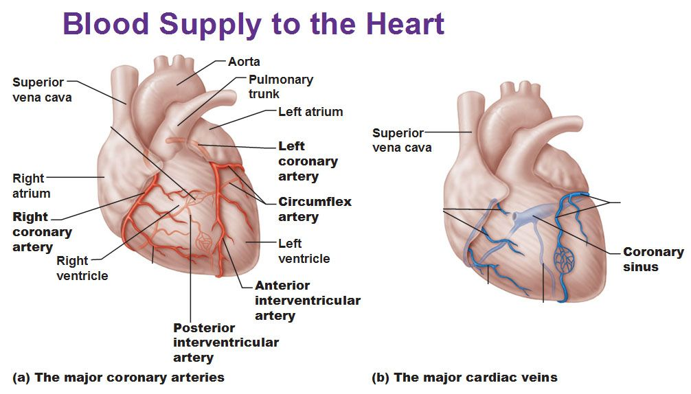 blood supply to heart, coronary arteries, cardiac veins, coronary ...