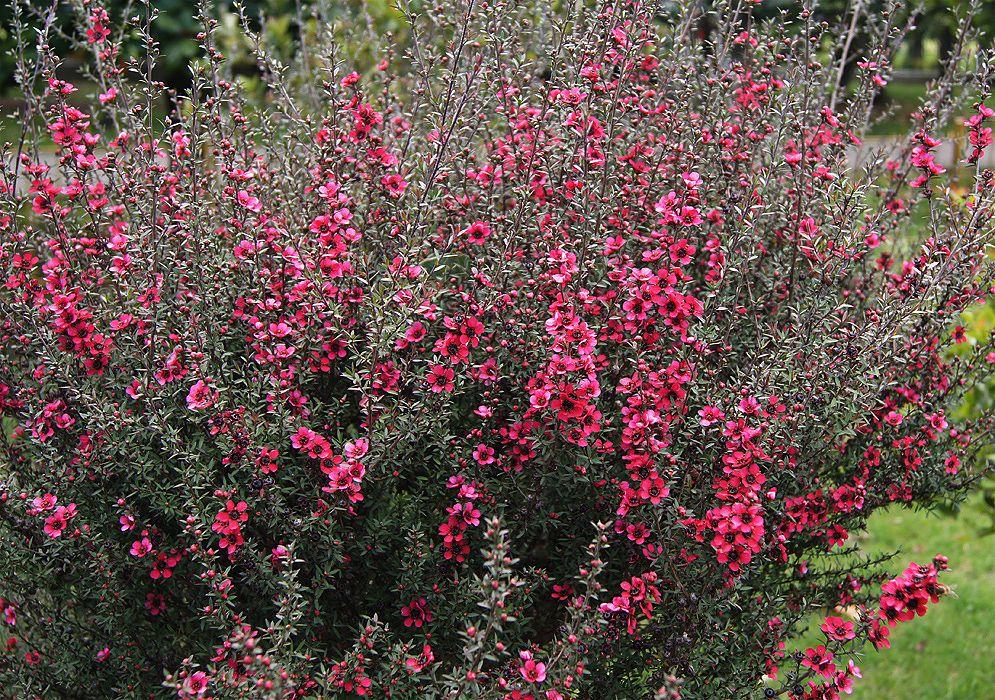 Leptospermum scoparium ; Medicinal plant 50 MANUKA MYRTLE SEEDS