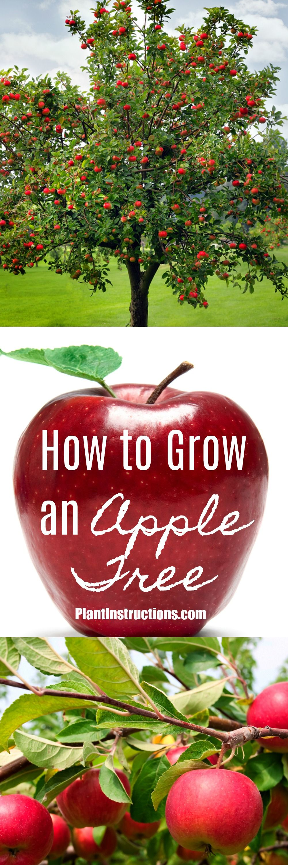 How To Grow An Apple Tree Apple Tree Care Growing Fruit Trees Growing Apple Trees