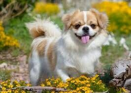 Tibetan Pubs That Are A Mix Of Poodle And Tibetan Spaniel And Poodle Really Cute Dog I Love Spaniels Anyway Have Really Cute Dogs Pekingese Dogs Dog Breeds