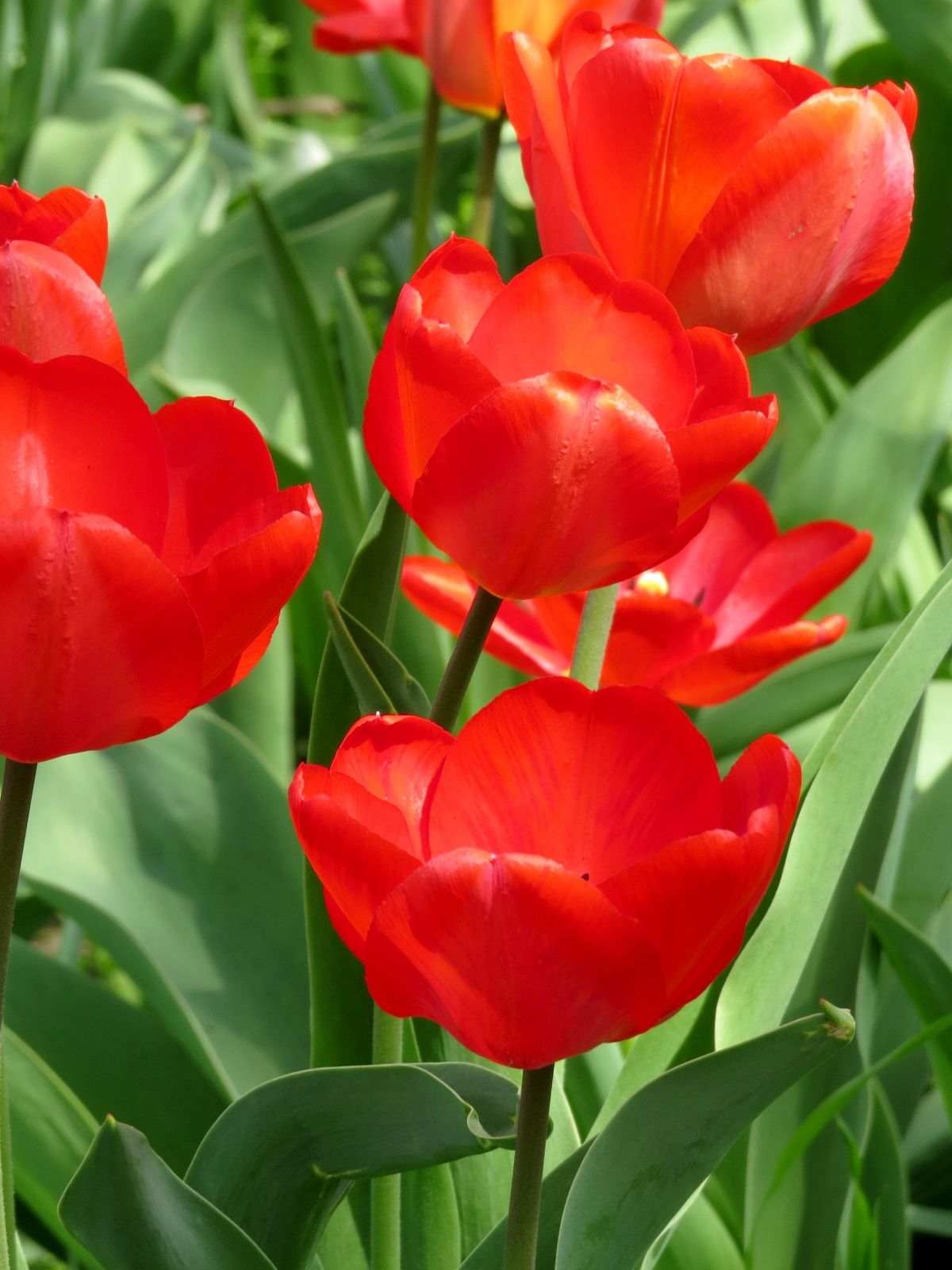 Dutch tulips Photo id24145 Dutch tulip, Flowers, Tulips