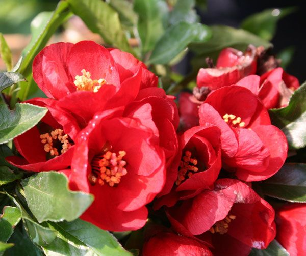 flowering quince chaenomeles superba crimson and gold a lovely ornamental quince easy - Quince Flower