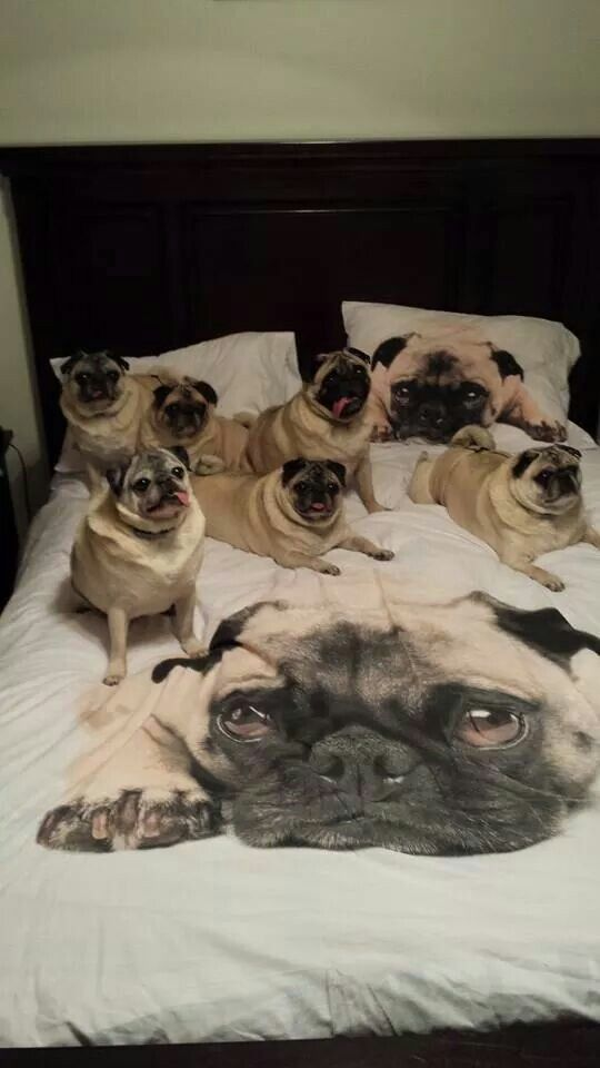 How Many Pugs Is Too Many Pugs Answer There S Never Too Many