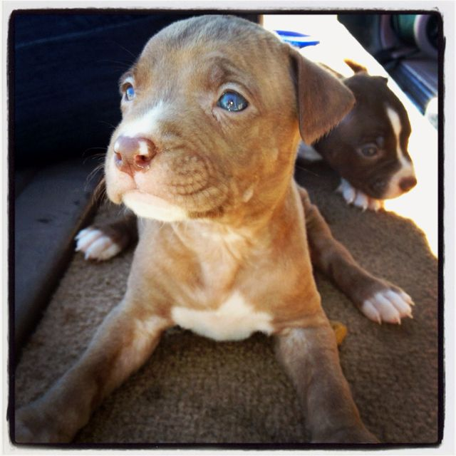 Road Side Pups For Sale Atl Red Blue Nose Pitbull Pups Bluenose