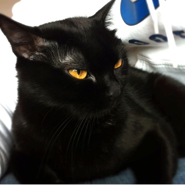 Bombay Cat Looks Just Like Our Fezzik Gatti Cats Pretty Cats