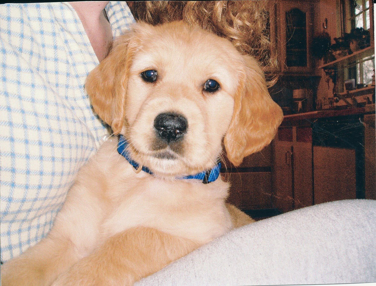 Stella At 10 Weeks Golden Retriever Cute Dogs Golden Retriever Dogs And Puppies