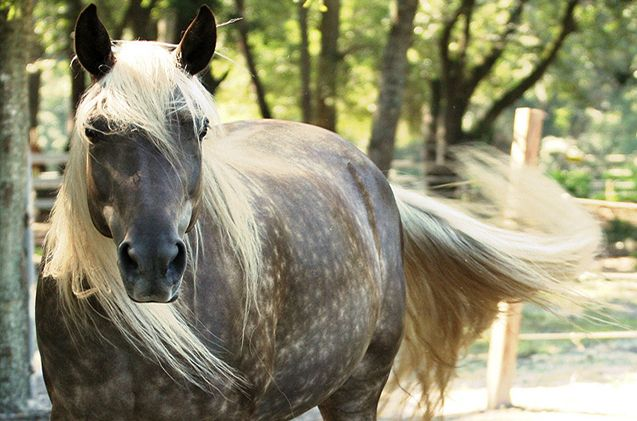 The Rocky Mountain horse is known for its gentle attitude.