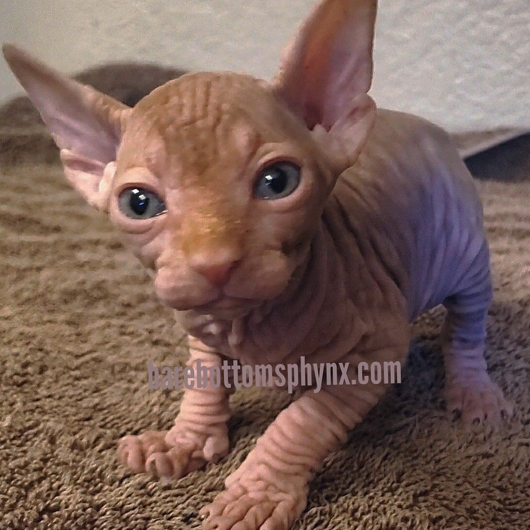Sphynx and bambino's hairless kitten's (With images