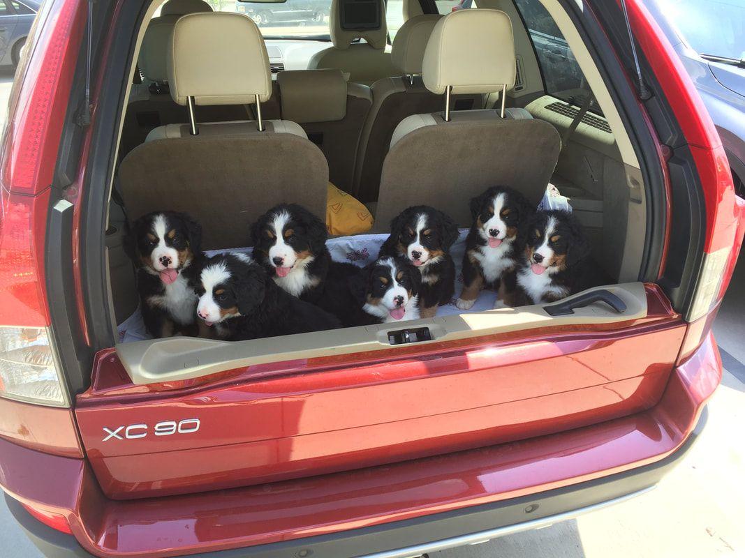 Previous Berner Pups Dry Creek Run Pup Dry Creek Puppies