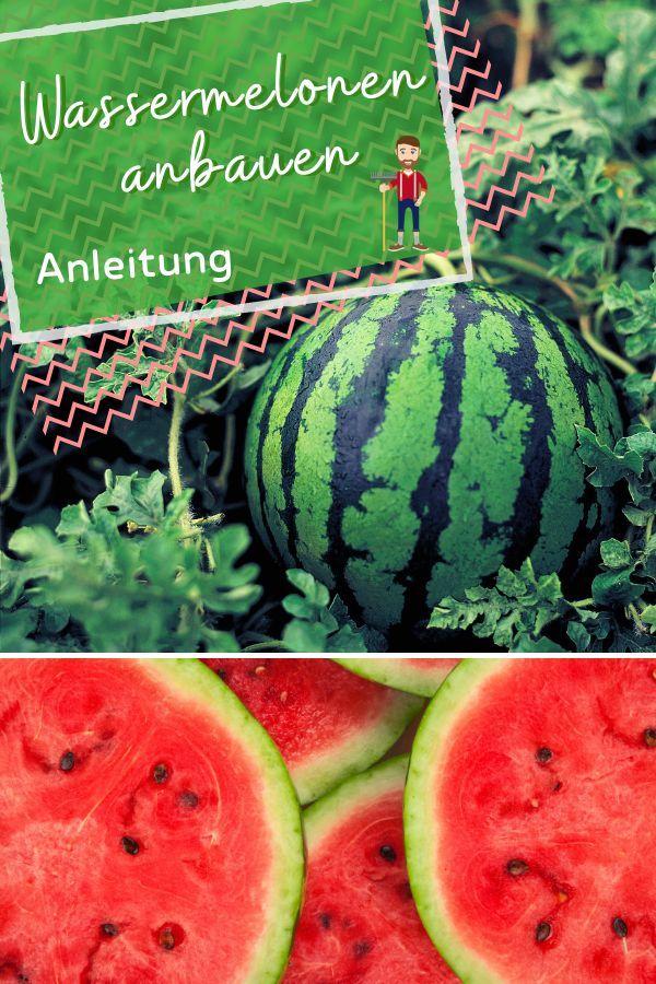 Wassermelonen Anbauen Aussaat Pflanzen Und Pflege Anleitung Wassermelone Anbauen Wassermelone Pflanzen Wassermelone