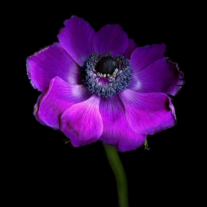 Pin By Alicia On Flowers Anemone Abstract Canvas Painting Purple Flowers