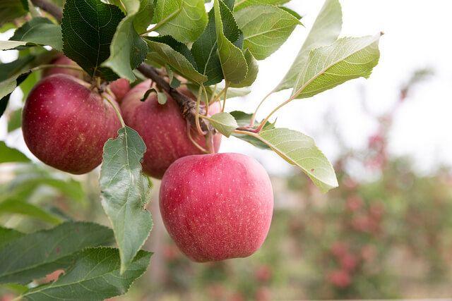 Pink Lady Apple Tree Pink Lady Apples Apple Tree Fruit Trees