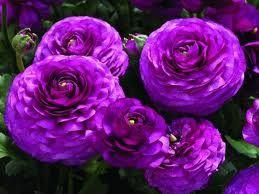 purple ronunculus...