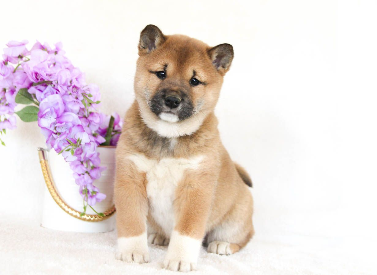 Pin By Soni On Doggos In 2020 Shiba Inu Puppy Cute Dogs Puppies