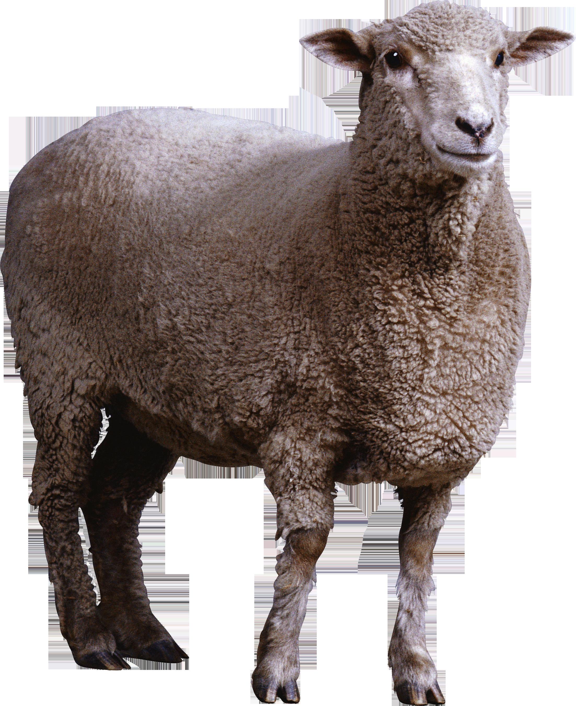 Download Png Image Sheep Png Image Animal Cutouts Animals Sheep