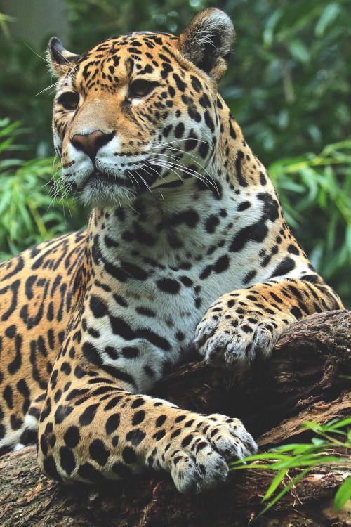 Desvre Jaguar Animal Small Wild Cats Wild Cats