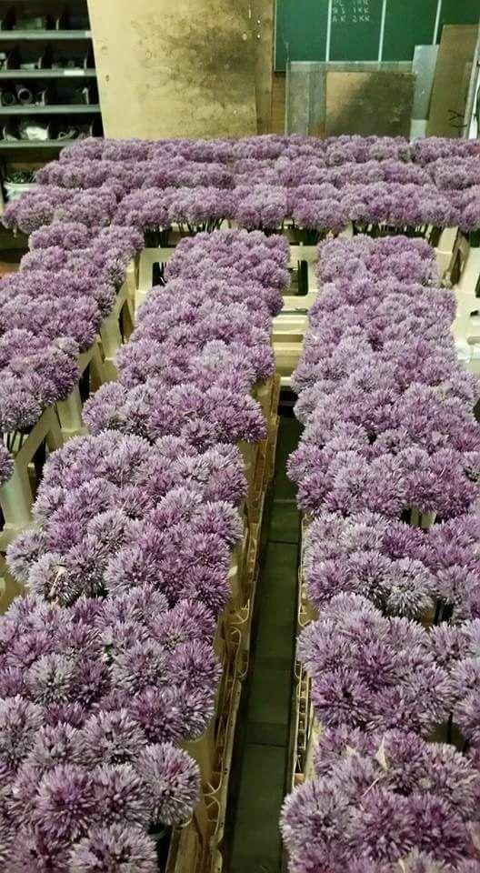 #Allium #Grower #WietseMellema; Available at www.barendsen.nl