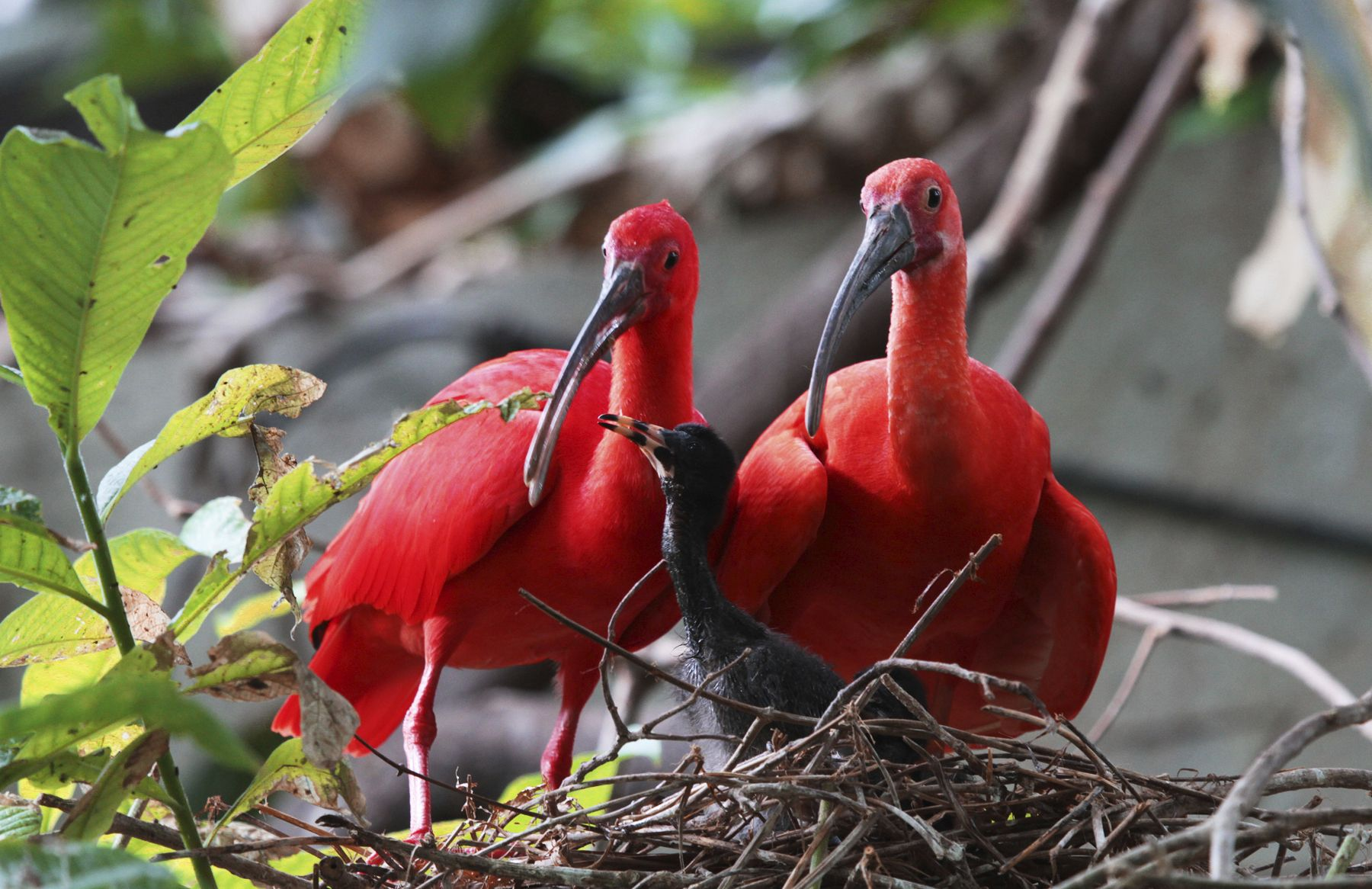 Trinidads national bird sacrlet ibis made in trinidad trinidads national bird sacrlet ibis buycottarizona Choice Image