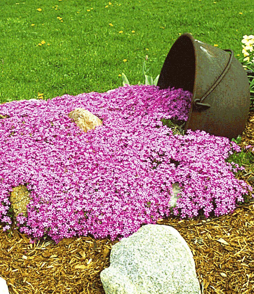Teppichphlox Emerald Pink Pflanzen Pinterest